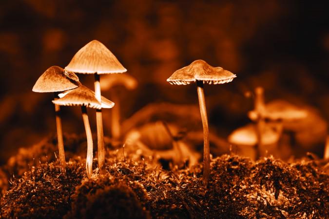 Group mushrooms. Sepia